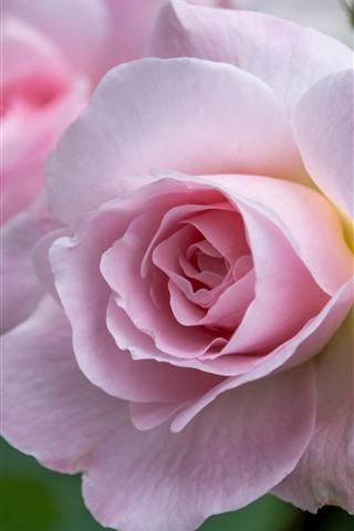 iPhone Wallpaper Pink rose macro photography, petals, flowers