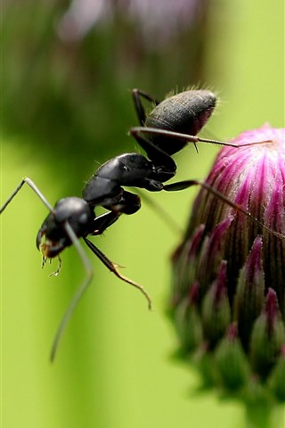 iPhone Wallpaper Purple flower bud, ant