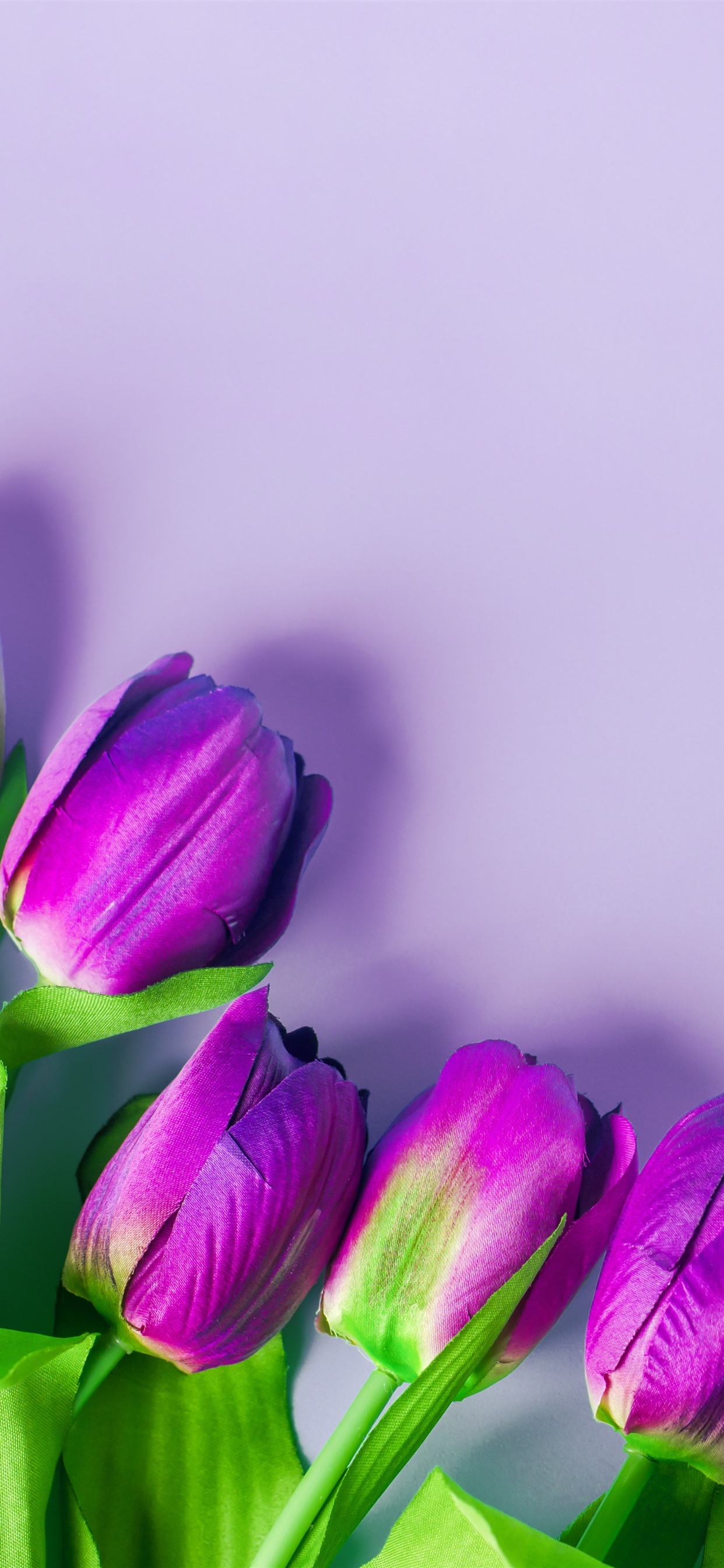 Purple Tulips Flowers Light Pink Background 1242x2688 Iphone 11 Pro Xs Max Wallpaper Background Picture Image