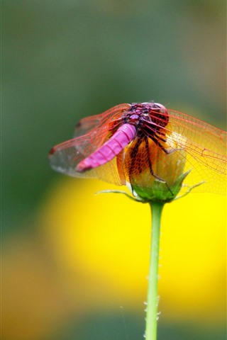 iPhone Wallpaper Red dragonfly, flower, insect