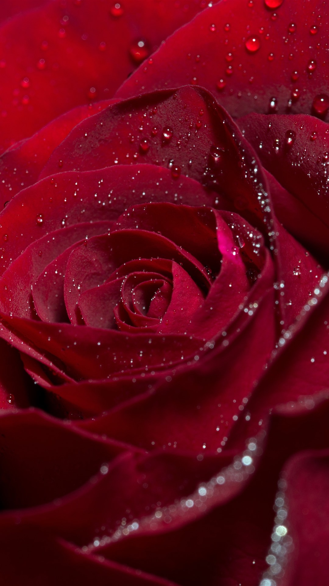 Red Rose Flower Petals Water Droplets 1242x2688 Iphone Xs