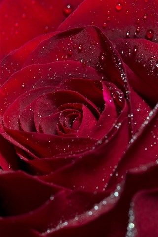 iPhone Wallpaper Red rose, flower, petals, water droplets