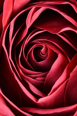 iPhone Wallpaper Red rose macro photography, petals, flower