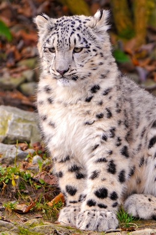 iPhone Wallpaper Snow leopard cub sit on ground