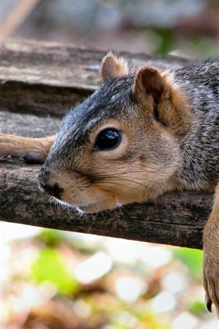 iPhone Papéis de Parede Descanso do esquilo, placa de madeira
