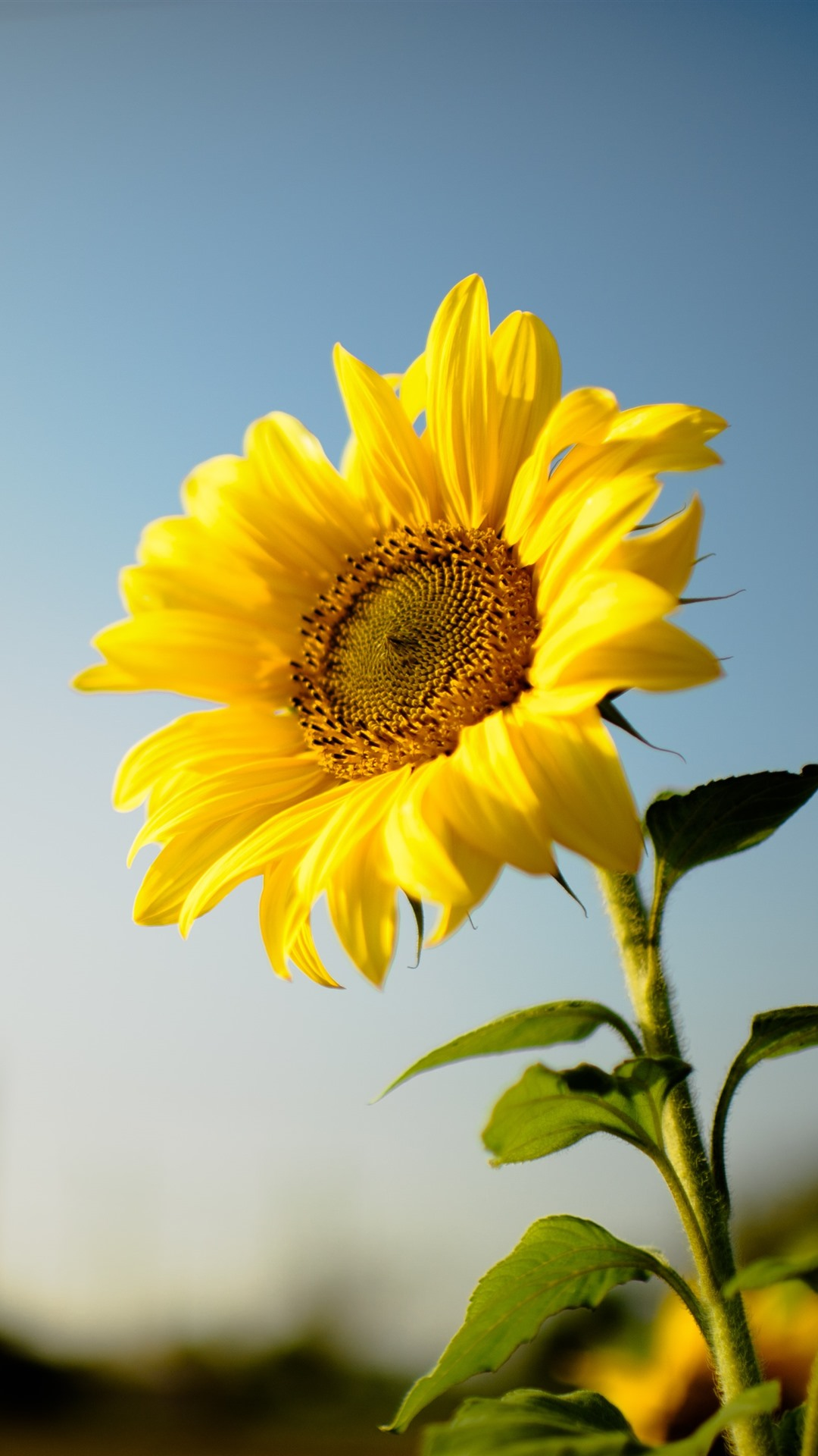 Wallpaper Sunflower Yellow Petals Hazy Background