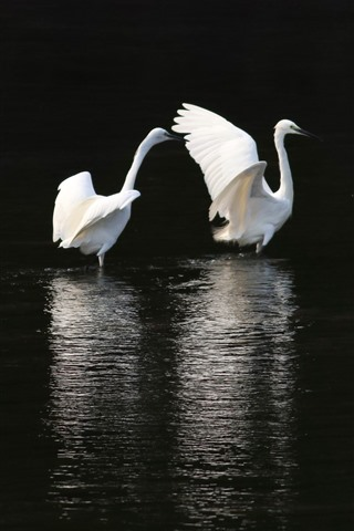 iPhone Wallpaper Three egrets, pond