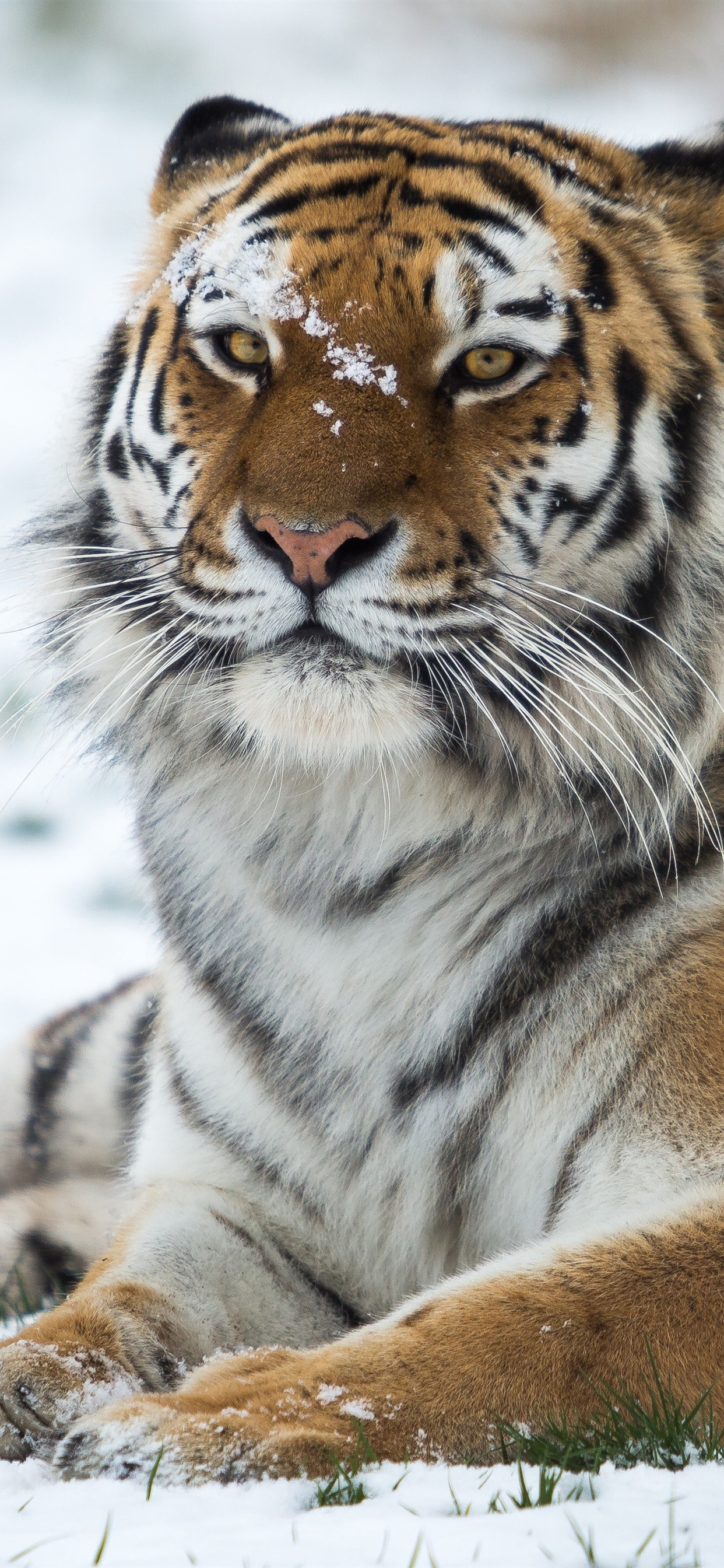 Tiger, wildlife, snow, winter 1242x2688 iPhone XS Max