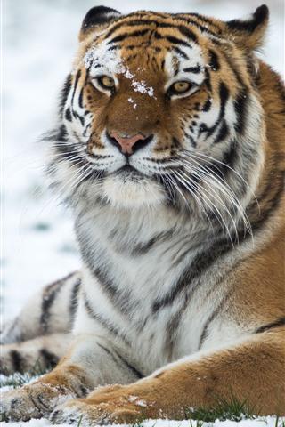iPhone Wallpaper Tiger, wildlife, snow, winter
