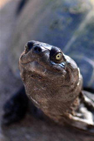 iPhone Wallpaper Tortoise, head, look