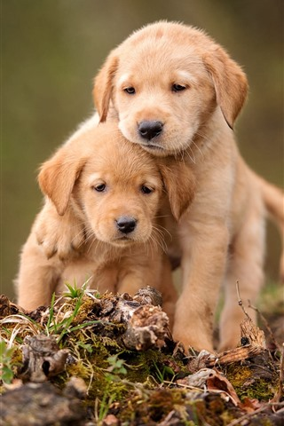 iPhone Wallpaper Two cute puppies