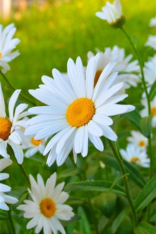 iPhone Wallpaper White chamomile flowers, petals, summer