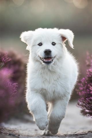 iPhone Wallpaper White puppy running, purple lavender flowers