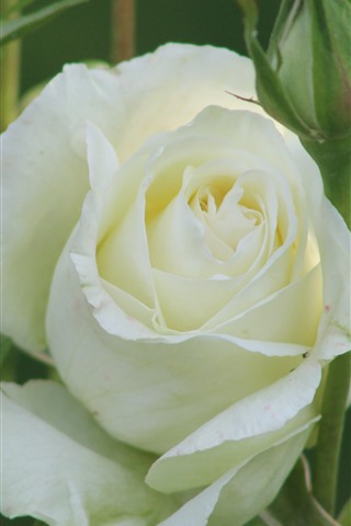 iPhone Wallpaper White rose, petals, green background