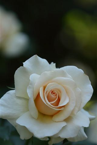 iPhone Wallpaper White rose, petals, hazy background