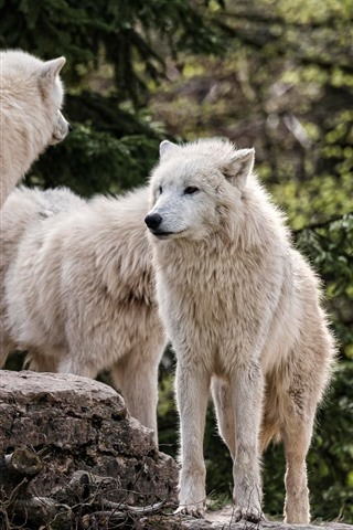 iPhone Wallpaper White wolf family