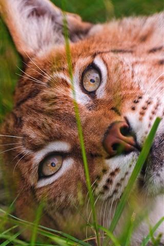 iPhone Wallpaper Wild cat, lynx, face, sleep, grass