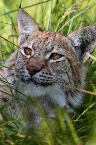 iPhone Wallpaper Wildcat, lynx, grass, rest