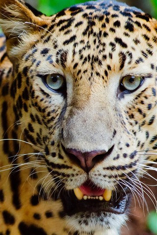 iPhone Wallpaper Wildlife, leopard, face, nose, teeth, eyes