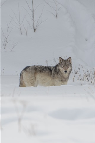 iPhone Wallpaper Wolf, snow, winter, cold