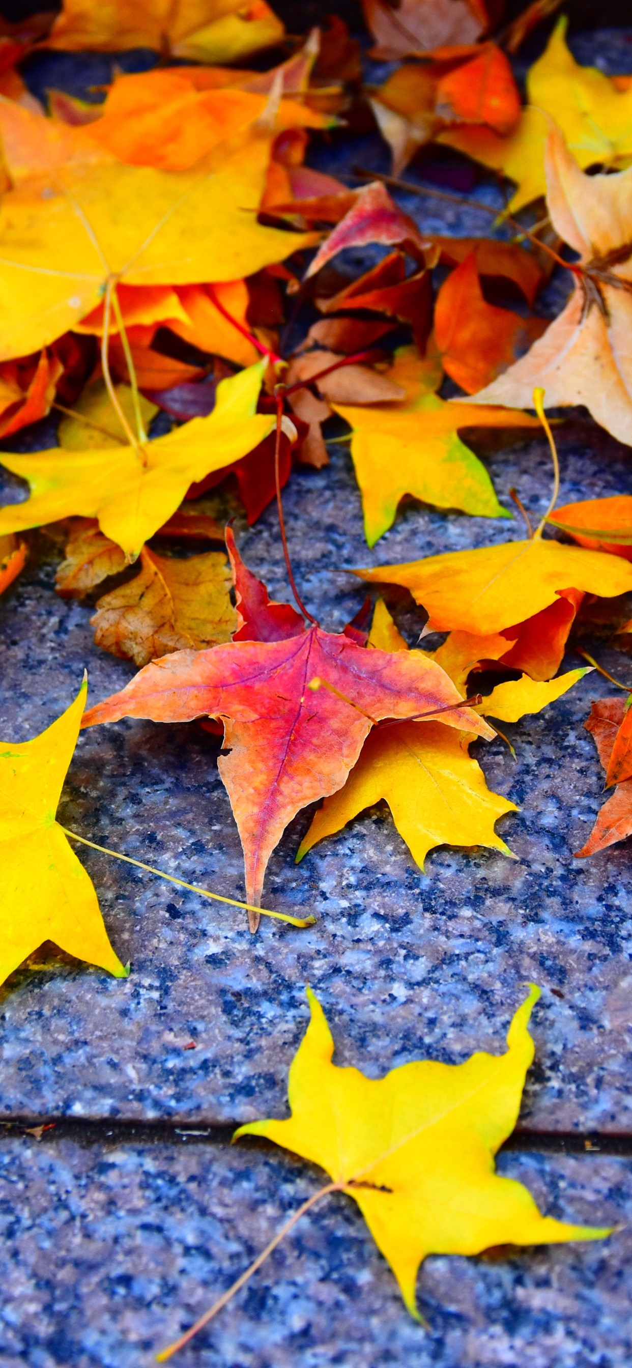 Yellow And Red Maple Leaves Ground 1242x2688 Iphone 11 Pro Xs Max Wallpaper Background Picture Image