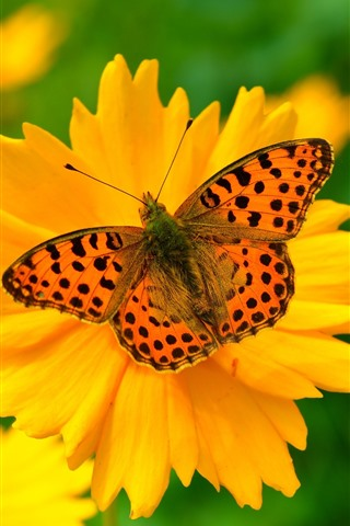 iPhone Wallpaper Yellow flower, petals, butterfly