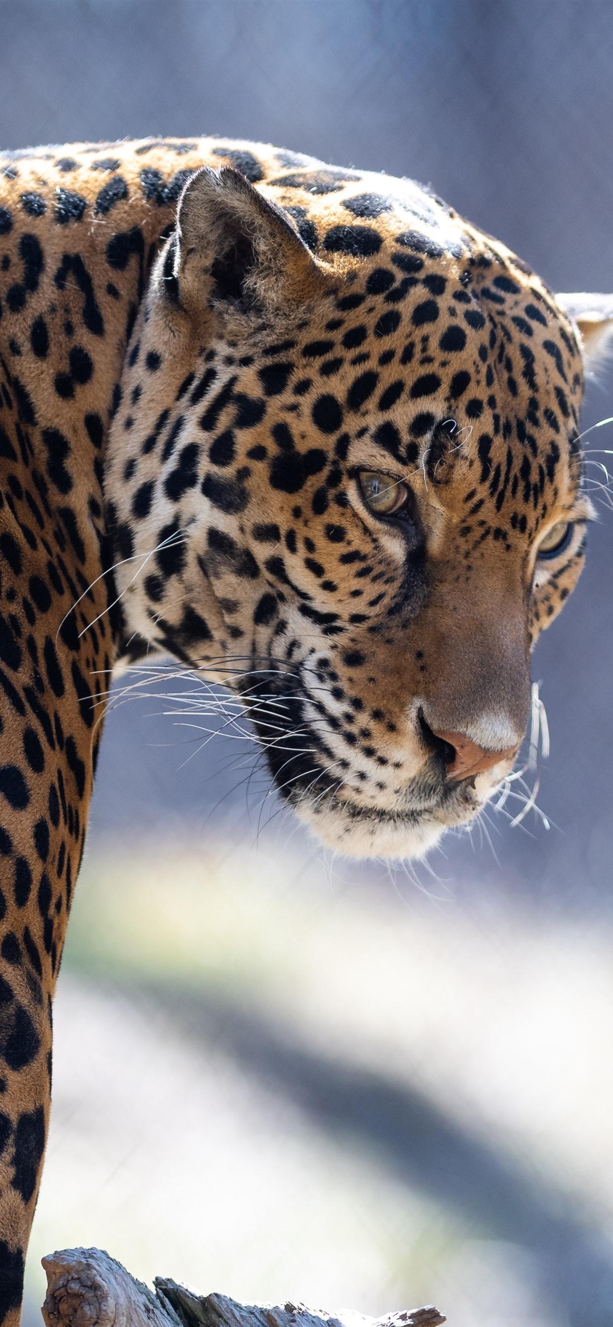 Zoo Animal Jaguar Look Back 1242x2688 Iphone Xs Max