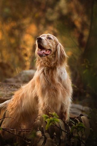 iPhone Wallpaper Autumn, furry dog, trees