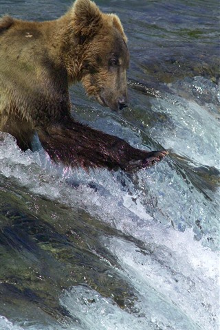 iPhone Wallpaper Bear want to catch fish, water, river