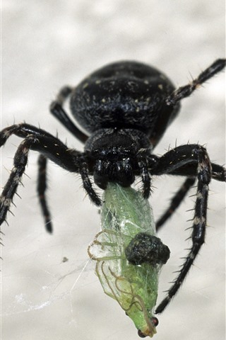 iPhone Wallpaper Black spider, insect