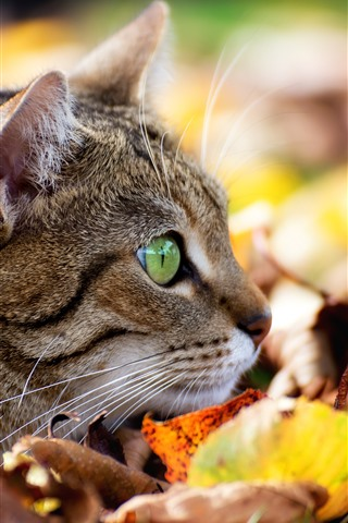 iPhone Wallpaper Cat, face, green eyes, leaves, autumn