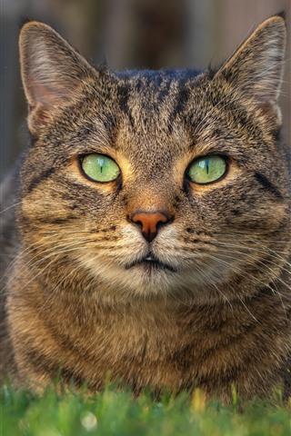 iPhone Wallpaper Cat rest, front view, face, green eyes, grass