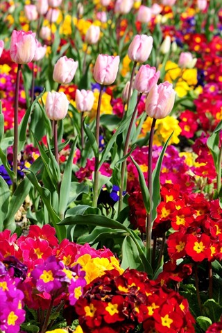 iPhone Wallpaper Colorful flowers, tulips, park