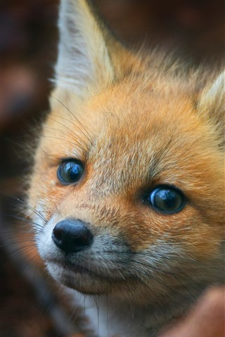 iPhone Wallpaper Cute little fox look at you, eyes, face, ears
