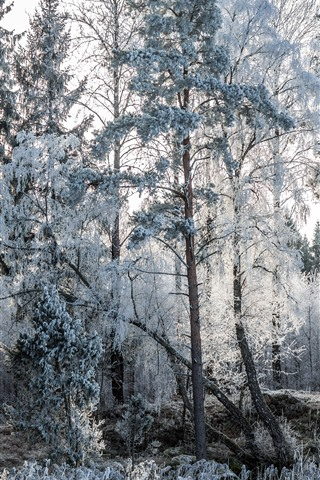 iPhone Wallpaper Frost, snow, trees, winter