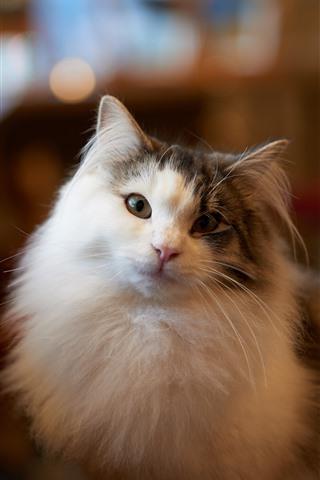 iPhone Wallpaper Furry cat look at you, room, hazy