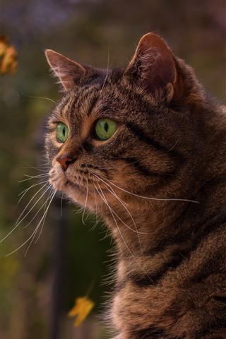 iPhone Wallpaper Gray cat, green eyes, pet