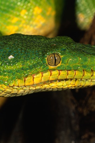 iPhone Wallpaper Green snake, head, eye