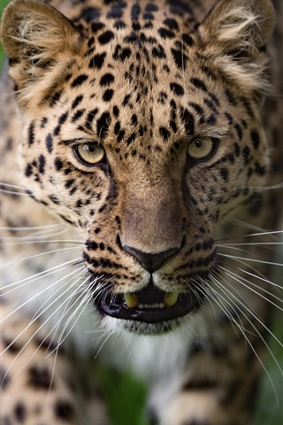 iPhone Wallpaper Leopard, face, green background