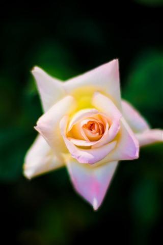 iPhone Wallpaper Light pink rose close-up, top view
