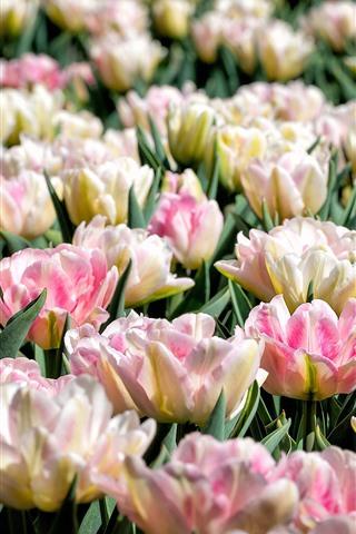 iPhone Wallpaper Light pink tulips, garden flowers