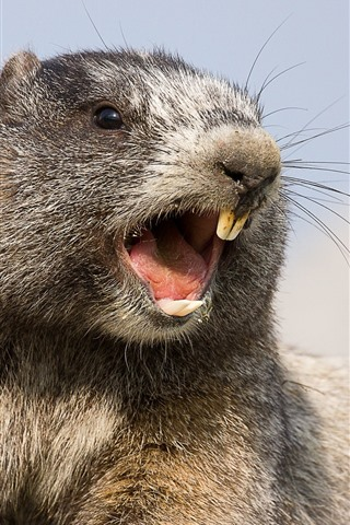 iPhone Wallpaper Marmot, rodent, teeth
