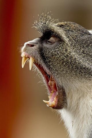 iPhone Wallpaper Monkey yawn, mouth, teeth