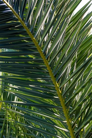 iPhone Wallpaper Palm tree leaves, plants