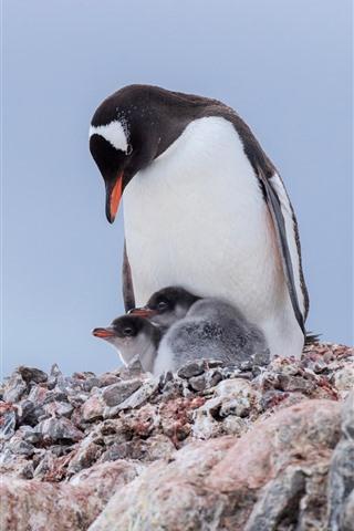 iPhone Wallpaper Penguins, family, birds