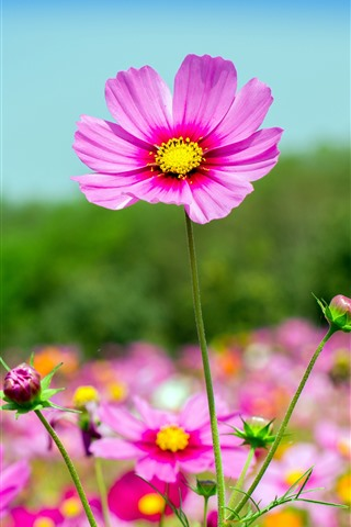 iPhone Wallpaper Pink cosmos flowers, summer