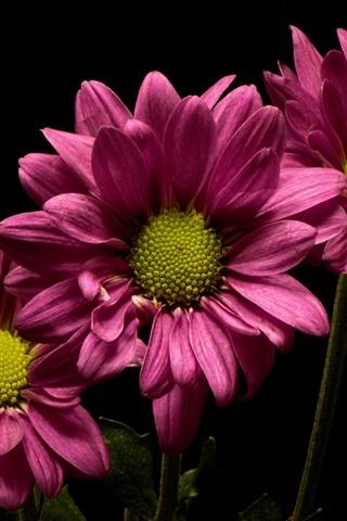 iPhone Wallpaper Pink flowers, chrysanthemum, black background
