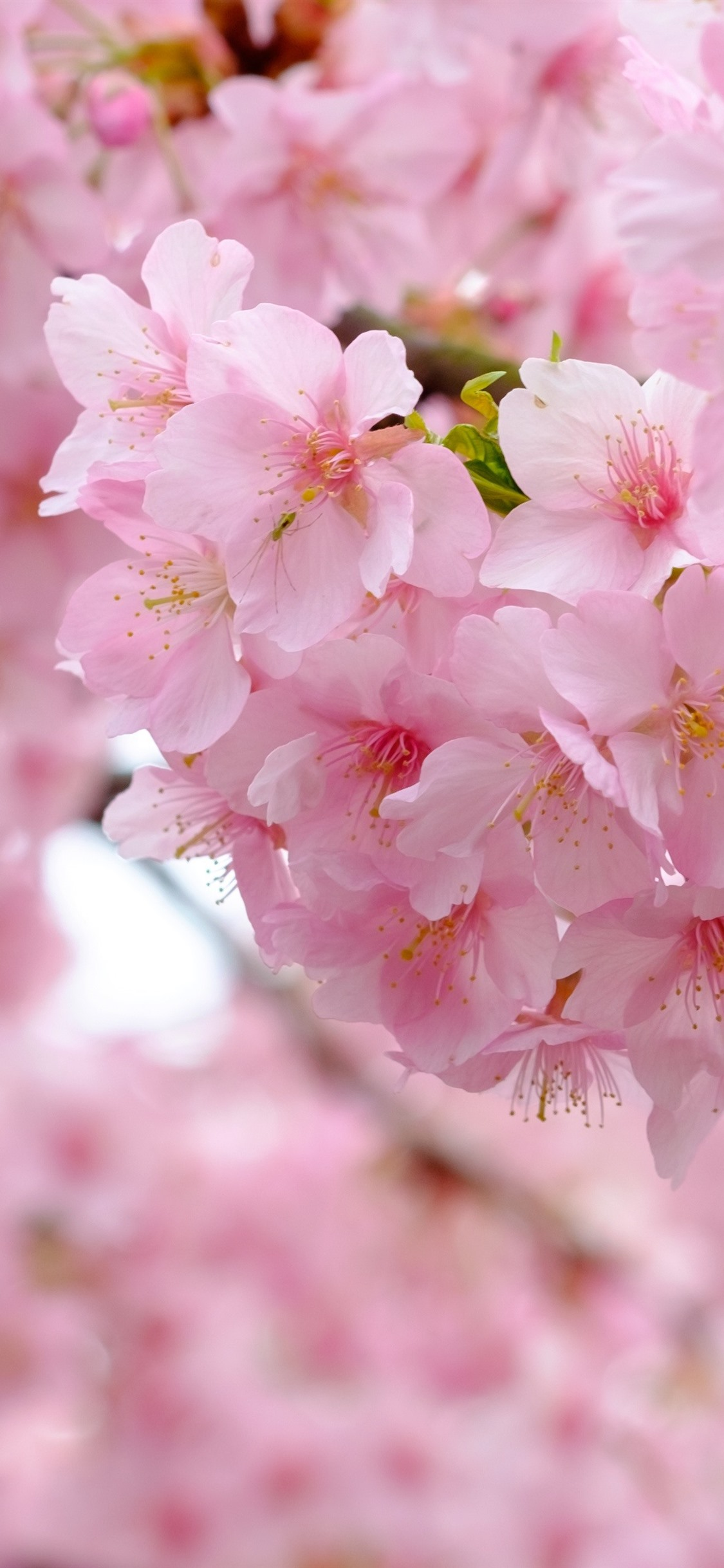Pink Sakura Bloom Flowers Spring Beautiful 1125x2436