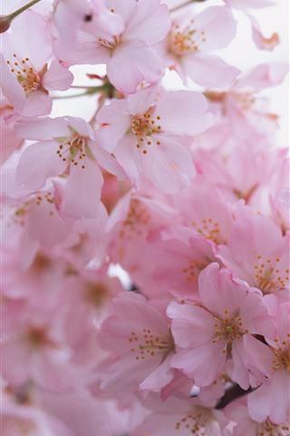 iPhone Wallpaper Pink sakura bloom, petals, spring, hazy