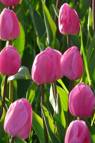 iPhone Wallpaper Pink tulips, green leaves, sunshine